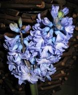 double blue hyacinth