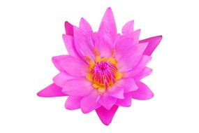 isolated bright pink flower