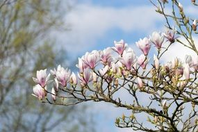 Magnolia pink Flowers on tree closeup