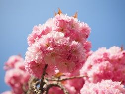 wallpaper with fluffy pink cherry blossoms