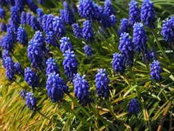wallpaper with muscari flowers