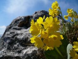 yellow primrose on a cliff background