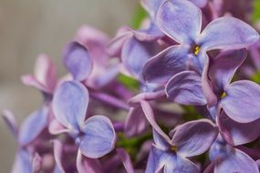 Violent Lilac Syringa blooms