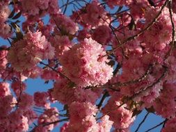 amazing flowering of cherry tree