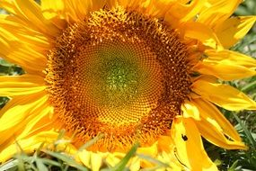 bright yellow sunflower in the sun close up