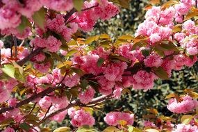 Bright Japanese Cherry Flowers Spring