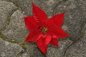 red Christmas star poinsettia