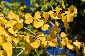 yellow foliage of aspen in the sunlight