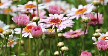 pink and white marguerites in a garden
