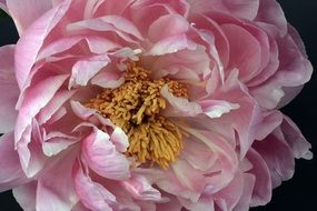 Tender Pink Peony Blossom