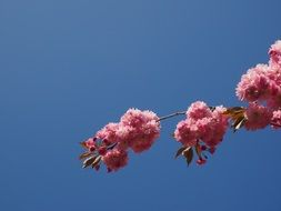 flowering of east asian cherry