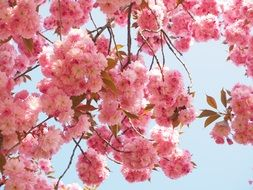 east asian cherry blossoms
