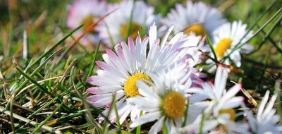 white daisies on green grass in the meadow