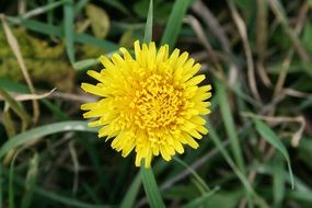yellow dandelion on the grass
