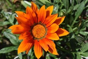orange flower with pointed petals