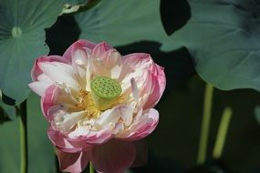 Pink and white lotus flowers blossom