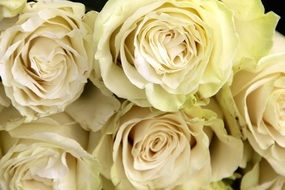 white roses in a bouquet close-up