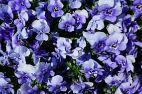 many bright blue violets