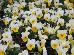 sea of white and yellow pansy flowers