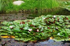 Water Lilies Pond Green