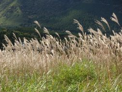 Japanese silver grass in autumn