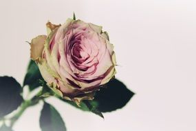 photo of romantic roses on white background