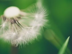 dandelion with seeds on a background of green leaf