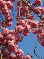 blooming of ornamental cherry tree