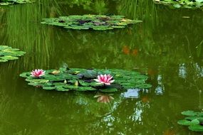 white-pink water lilies and green leaves in the middle of the lake
