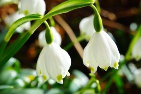 white snowdrops are harbingers of spring