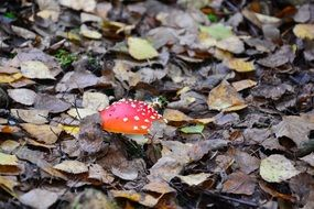 Fly agaric Mushroom on a forest ground