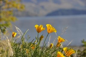 yellow poppies are wild flowers