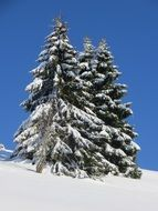 Winter Fir Snow Black Forest