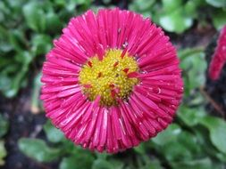 pink daisy with small pointed petals close-up
