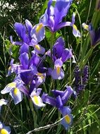 purple irises in the meadow in the garden