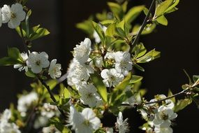 cherry tree branches with white flowers
