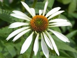 White Echinacea in nature
