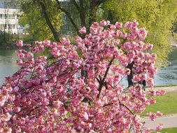 cherry tree in the park