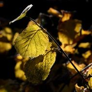 yellow hazel leaves on a branch