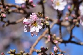 bee near a cherry flower