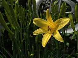 yellow daylily in a green garden