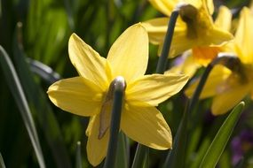 blooming daffodils in the garden