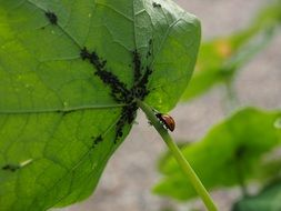 ladybug on a green leaf with black insects