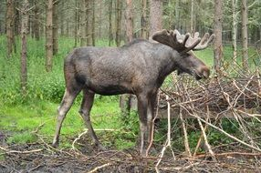 incomparable Moose Sweden