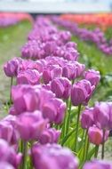 Purple Red Tulips