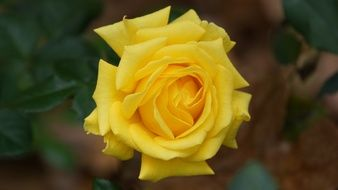 yellow rose in the garden close-up