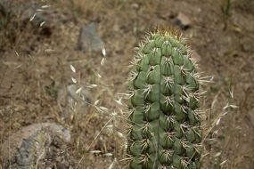 spiny cactus in the desert of Chile