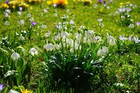 spring sunny meadow with snowdrops
