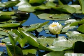 white water lily with green leaves on a pond