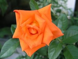 single rose flower blossom